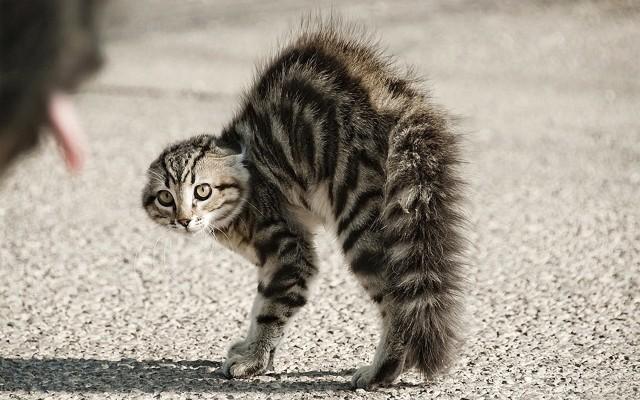 Gato erizado, en alerta máxima, enfurecido, defensivo y agresivo.