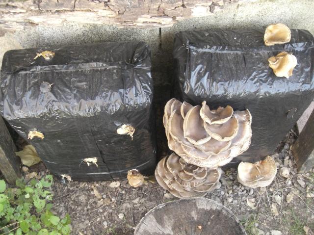 balas de cultivo de pleurotus ostreatus