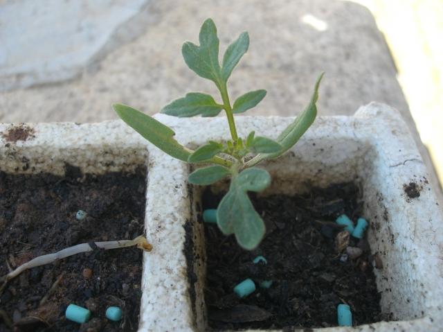 Plantita de Jitomate de México, residente en España.