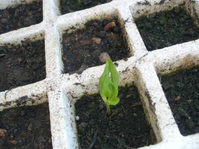 Plantita de pimiento naranja de México