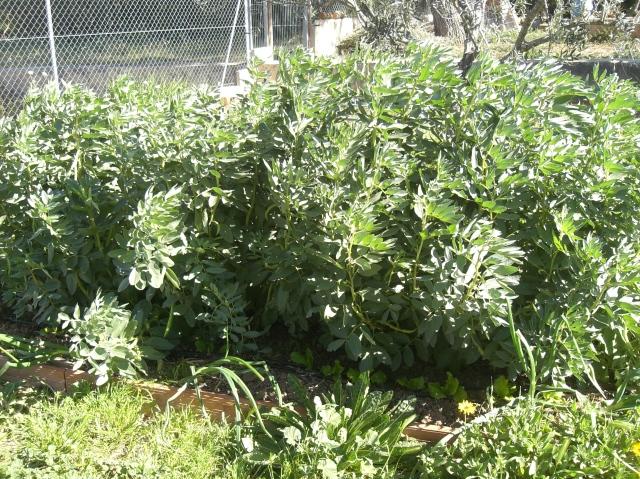 Plantel de Habas