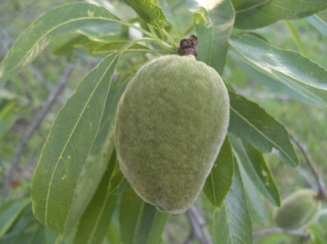 Almendra con cascara verde en el mes de abril