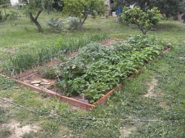 Huerta ecológica con patatas y cebollas