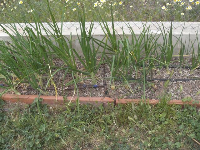 Cebollas ecológicas