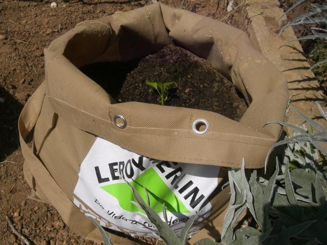 """Plantita de pimiento variedad """"Eddy Mischelle"""" de México, cultivada en bolsa ecológica de Leroy Merlín."""