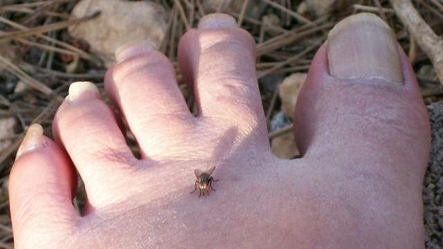 mosca en pie izquierdo