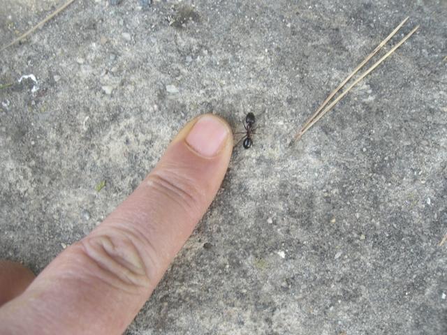 hormiga negra española