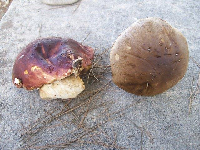 A la izquiera el boletus pinícola (rojo) a la derecha el boletus edulis (marrón)