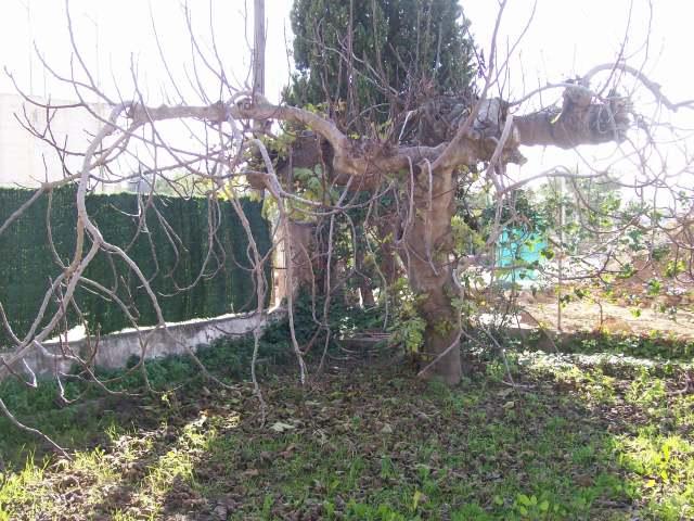 Higuera podada, sin hojas, en invierno