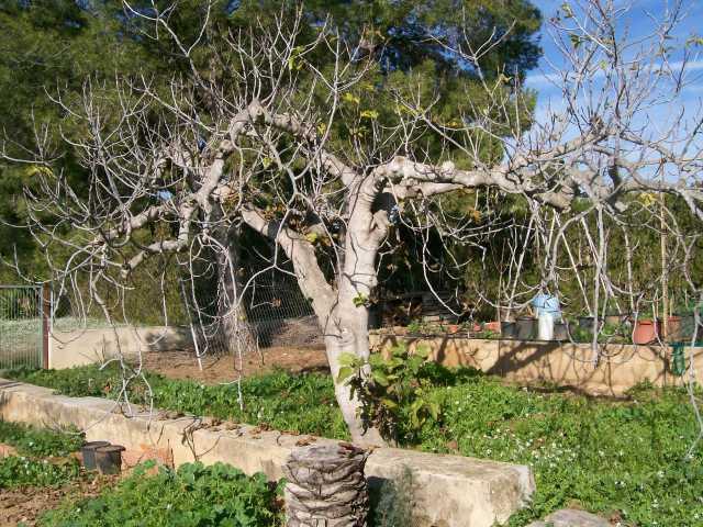 Higuera sin hojas en invierno