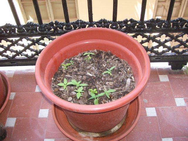 He comprobado en la maceta del balcón que los cañamones tienen poder germinativo.