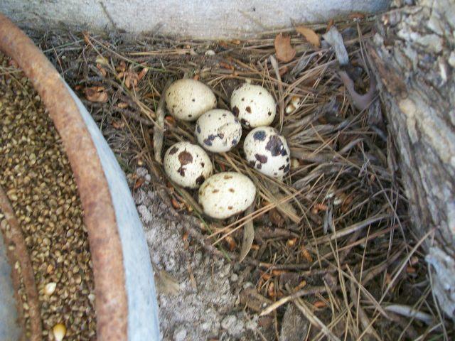 Huevos de codorniz para las lagartijas y todo tipo de bichos.