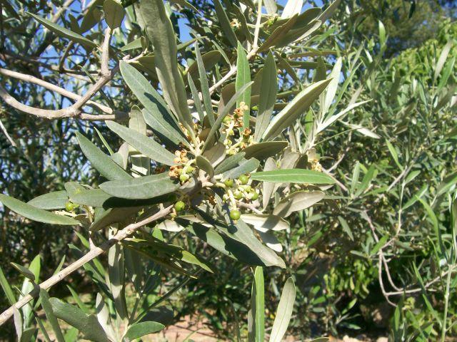 Brotes de olivo
