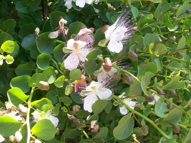 Flores de tápera