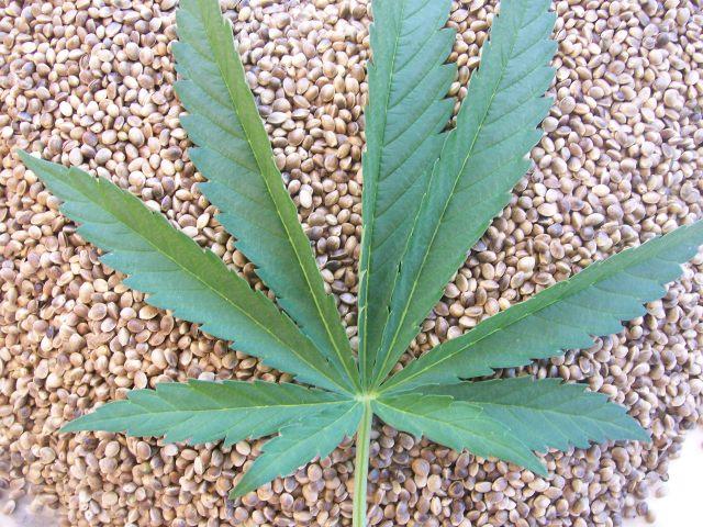 Cañamones y hoja de cáñamo (planta de cannabis, marihuana)